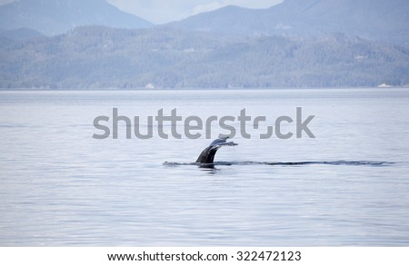 Humpback whale tail in Johnstone strait, Vancouver island, British Columbia, Canada