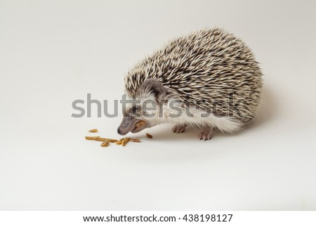 hungry hedgehog eating worm on white background, thailand