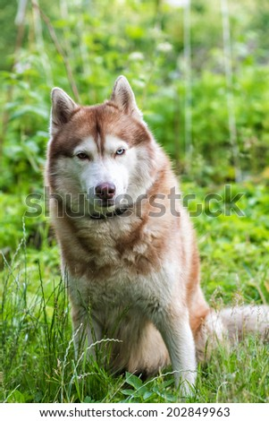 Husky dog with different color eyes sitting on the grass