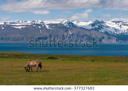 Icelandic horse on pasture at sea with panorama mountains, nature habitat, Iceland