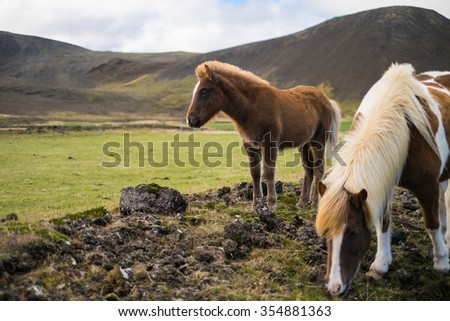 Icelandic pony and horse in the pasture with mountains in the background