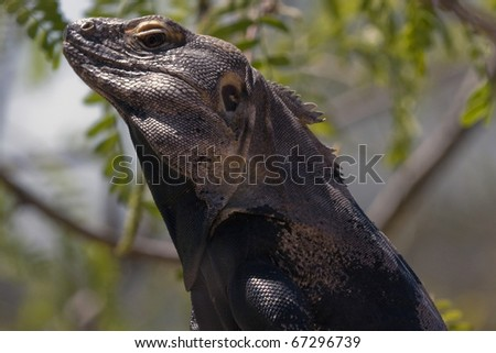 Iguana perched on a branch