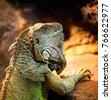 iguana portrait in wild nature
