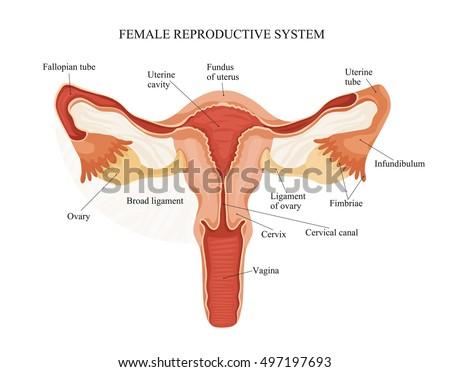 Illustration of female reproductive system. Human anatomy
