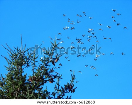 image from animals series: flying pigeons and spruce