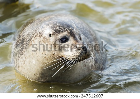Image of a floating gray seal in the water