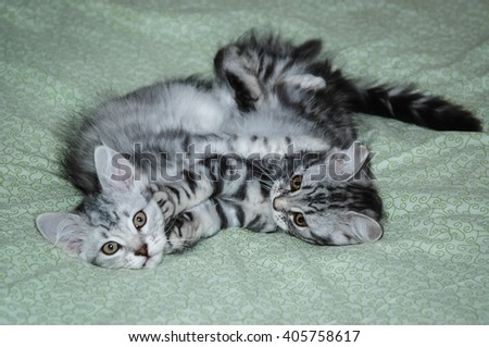 Image of two little silver siberian kittens playing on the couch