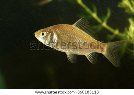 Immature crucian carp fish swimming  in the pond