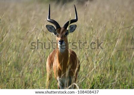portrait male greater kudu antelope stock photo 560433169. Black Bedroom Furniture Sets. Home Design Ideas