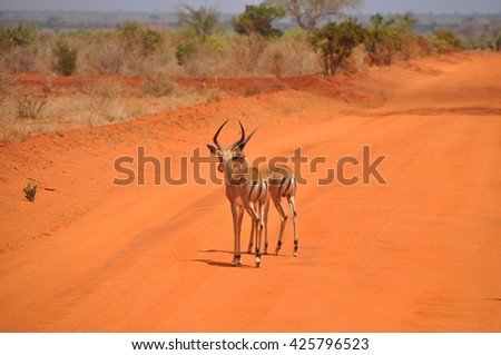 Impala's in Tsavo National Park Kenia