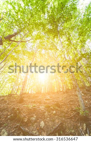 In a forest of dense trees, the sun filters through the leaves green and illuminates the undergrowth. Backlight