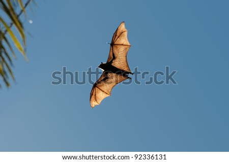 "Indian Bat ""Flying Fox"" flying over  Tissamaharama, Sri Lanka"