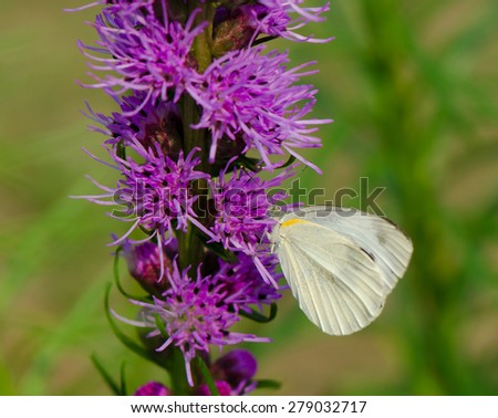 Indian Cabbage White butterfly on purple flower with green background.