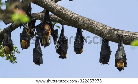 Indian flying fox in Yala national park, Sri Lanka ; specie Pteropus giganteus in group