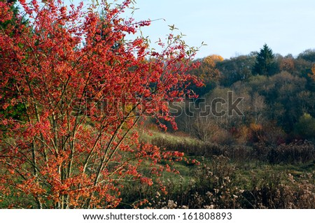 indian summer colors of burning bush (spindle tree)