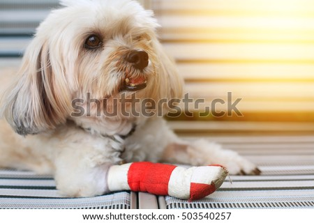 Injured Shih Tzu front leg wrapped by red bandage with sunset light