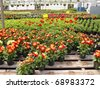Inside a greenhouse. Pots of dahlias are in the foreground with a mix of begonias and geraniums in the back. - stock photo