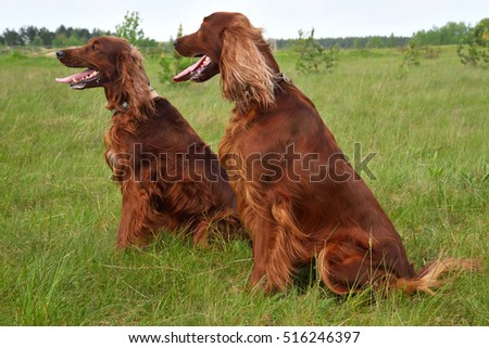 Irish setter sitting on a green grass field