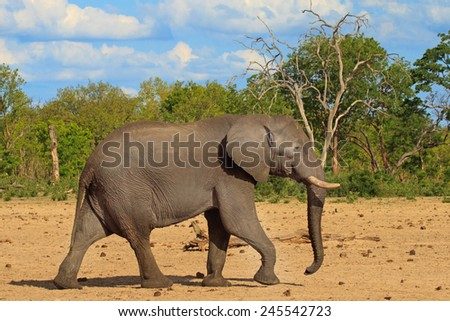 Isolated bull elephant walking across the plains in Hwange National Park