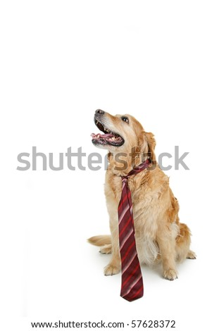 isolated dog with tie