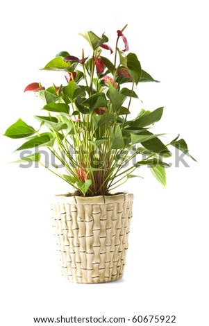 Isolated flower in pot: Anthurium Andreanum Red Queen