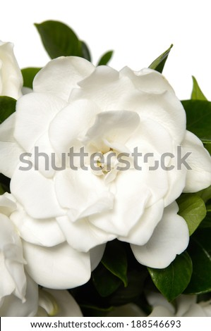 Isolated Gardenia's