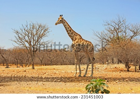Isolated Giraffe on the plains, in Ongava game reserve
