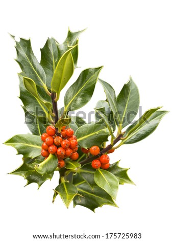 Isolated holly branch with green spiked leaves and red berries
