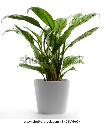 Isolated Houseplant on White, Chinese Evergreen