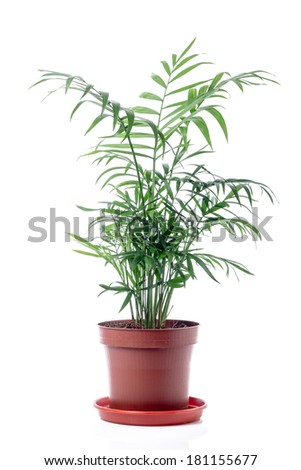 Isolated Palm Tree in pot  on White Background. Chamaedorea Elegance