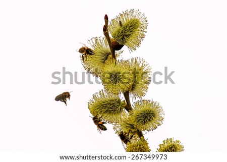 Isolated spring flowers and bees around