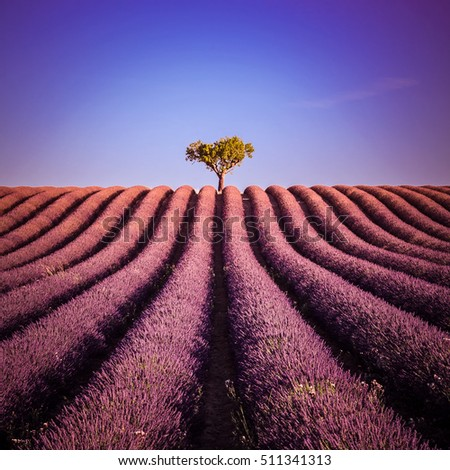 Isolated tree in a lavender field in summer: landscape at Valensole in France - Provence