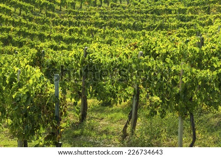 Italian vineyard during autumn