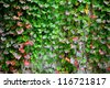 ivy covering wall - stock