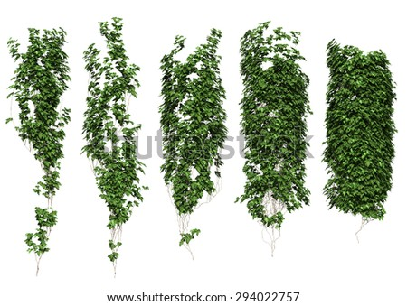 ivy ivy leaves isolated on a white background.