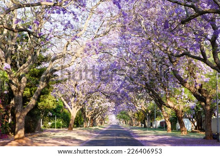 Jacaranda tree-lined street in South Africa's capital city, blooming with beautiful purple flowers
