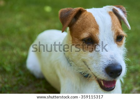 Jack Parson Russell Terrier puppy dog pet, tan rough coated, outdoors in park while playing