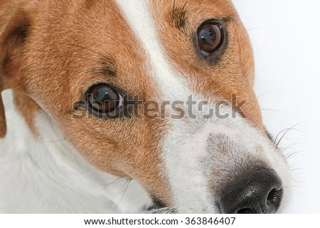 Jack Russel terrier closeup  looking at the camera