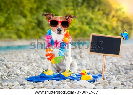 jack russell dog at the beach  on summer vacation holidays
