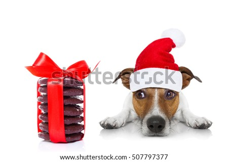jack russell dog with red  christmas santa claus hat  for xmas holidays and a gift of cookies or treats