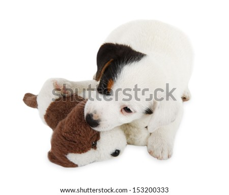 Jack Russell puppy on a white background