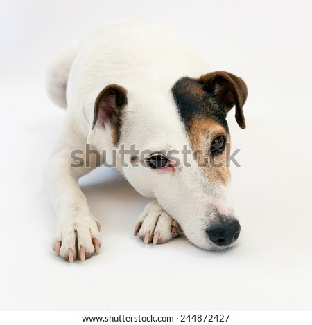 Jack Russell Terrier lying on the ground