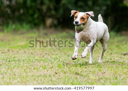 Jack Russell Terrier Playing With A Tennis Ball