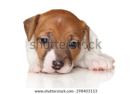 Jack Russell terrier puppy lying on white background