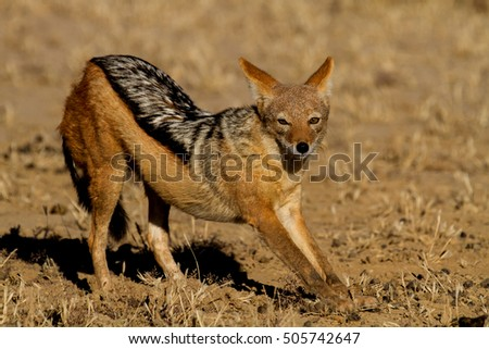 jackal in the Kalahari