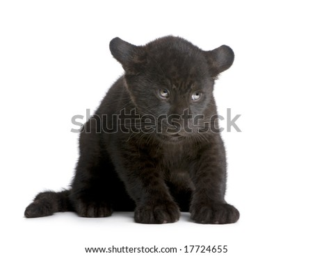 Jaguar cub (2 months) - Panthera onca in front of a white background