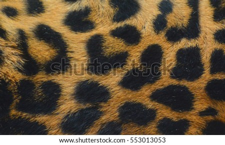 Jaguar skin close up.