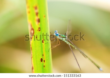 Japanese Emerald Damselfly (Lestes japonicus) in Japan