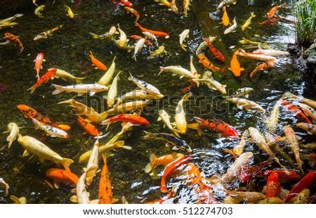 Koi fish stock photo 595637336 shutterstock for Koi pool santa