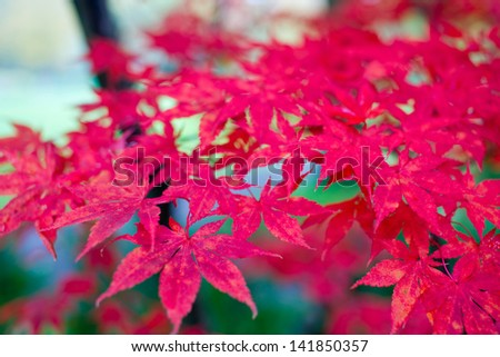Japanese maple leafs